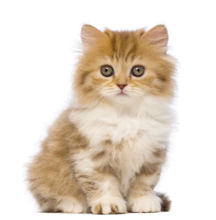 purebred cat: British Longhair kitten, 2 months old, sitting and looking at the camera in front of white background Stock Photo