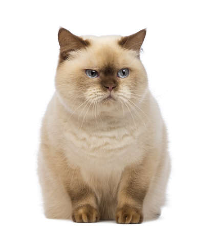 domestic cat: Fat British Shorthair, 2.5 years old, sitting and looking with suspicion in front of white background