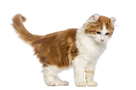 american curl: American Curl kitten, 3 months old, standing and looking down in front of white background Stock Photo