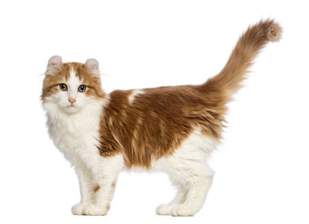 purebred cat: Side view of an American Curl kitten, 3 months old, standing and looking at the camera in front of white background Stock Photo