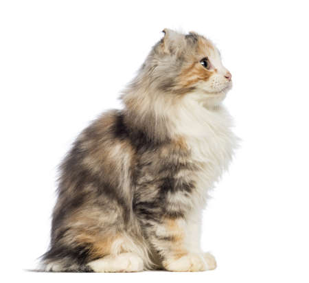 Side view of an American Curl kitten, 3 months old, sitting and looking up in front of white background photo