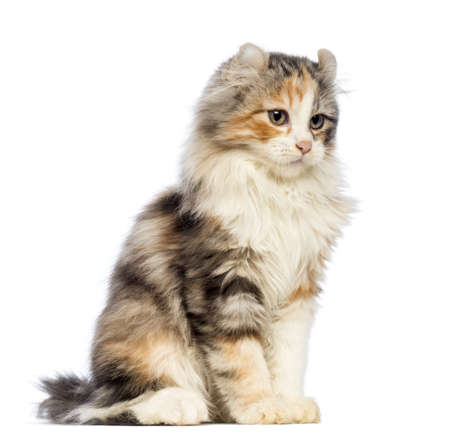 american curl: American Curl kitten, 3 months old, sitting and looking away in front of white background Stock Photo