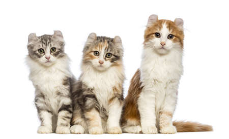 american curl: Three American Curl kittens, 3 months old, sitting and looking at the camera in front of white background