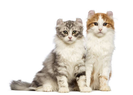 american curl: Two American Curl kittens, 3 months old, sitting and looking at the camera in front of white background