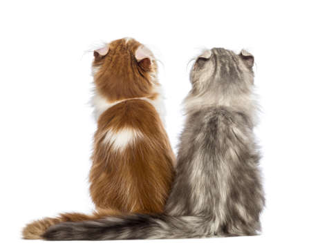 american curl: Rear view of two American Curl kittens, 3 months old, sitting and looking up in front of white background