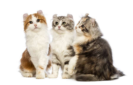american curl: Three American Curl kittens, 3 months old, sitting, looking up and looking at the camera in front of white background