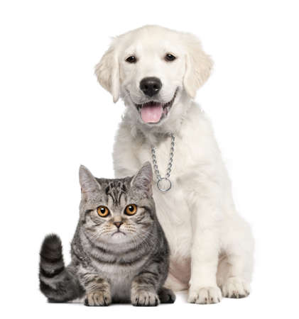 dog cat: Golden Retriever puppy (14 weeks old) sitting next to a British Shorthair - isolated on white