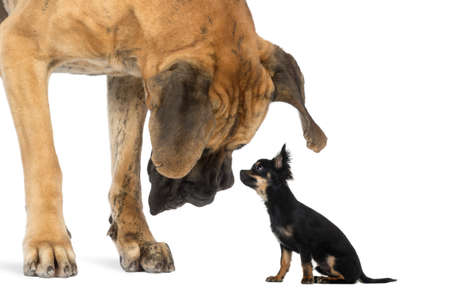 large size: Great Dane looking at a Chihuahua sitting, isolated on white