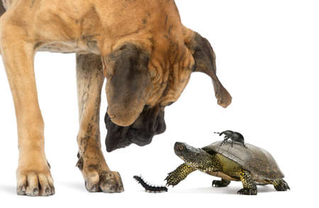 dane: Great Dane looking at a turtle and insects, isolated on white Stock Photo