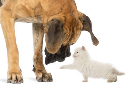 Great Dane looking at a kitten, isolated on white photo