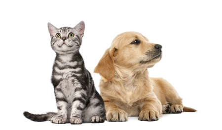 dog cat: Golden retriever puppy lying next to British Shorthair kitten sitting, isolated on white Stock Photo