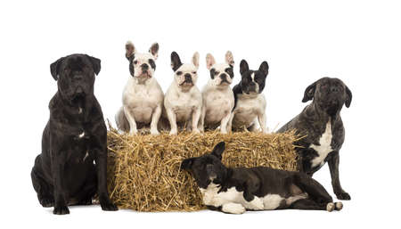 French Bulldogs sitting on a straw bale and crossbreeds sitting and lying next to the bale in front of white background photo