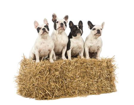 French Bulldogs sitting on a straw bale in front of white background photo