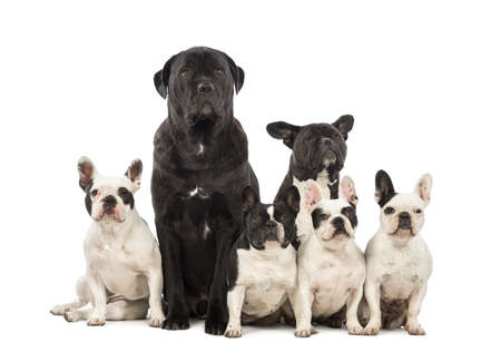 French Bulldog and Crossbreeds sitting in front of white background photo