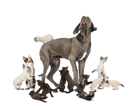 great dane: Great Dane standing in the middle of cats playing - isolated on white