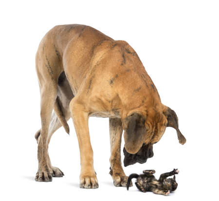 big and small: Great Dane looking at a kitten lying on its back and attacking, isolated on white Stock Photo