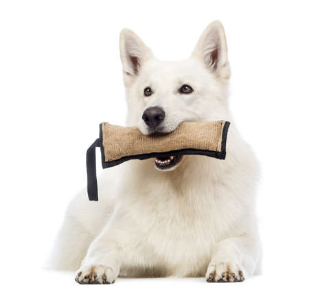 dog toy: Swiss Shepherd dog lying and holding a toy in its mouth in front of white background