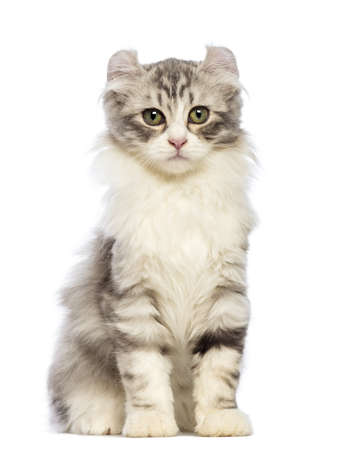 american curl: American Curl kitten, 3 months old, sitting and looking at the camera in front of white background
