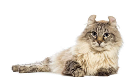 american curl: American Curl lying and looking at the camera in front of white background