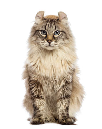 american curl: American Curl sitting and looking at the camera in front of white background