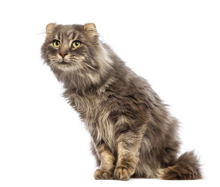 American Curl sitting and looking up in front of white background photo