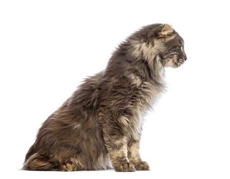 american curl: Side view of an American Curl sitting and looking away in front of white background