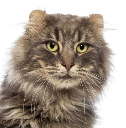 Close-up of an American Curl looking away in front of white background photo
