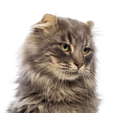 american curl: Close-up of an American Curl looking away in front of white background