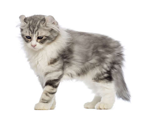 american curl: Side view of an American Curl kitten, 3 months old, in front of white background Stock Photo