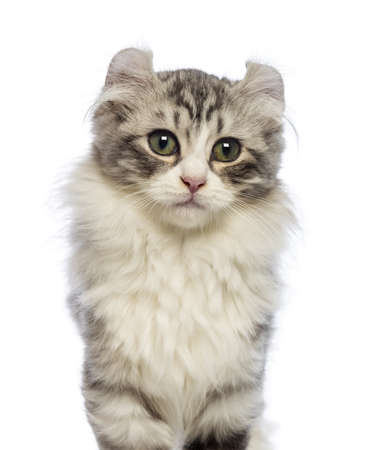 American Curl kitten, 3 months old, looking at the camera in front of white background photo