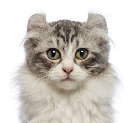 american curl: American Curl kitten, 3 months old, looking at the camera in front of white background