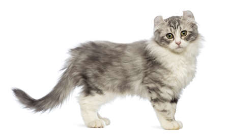 american curl: Side view of an American Curl kitten looking at the camera in front of white background