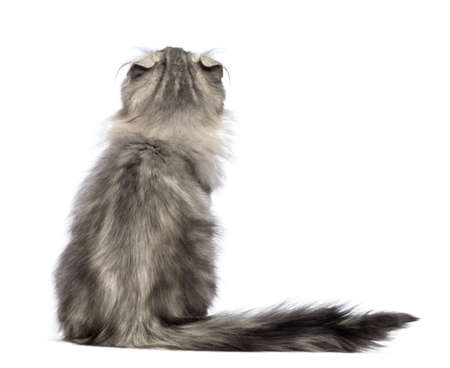 american curl: Rear view of an American Curl kitten, 3 months old, sitting and looking up in front of white background