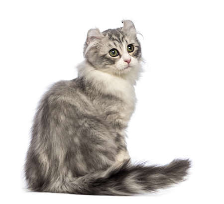 Rear view of an American Curl kitten, 3 months old, sitting and looking back in front of white background photo