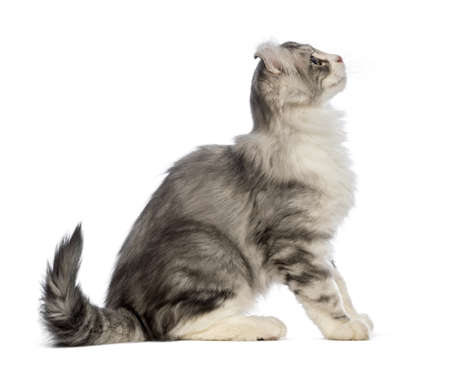 american curl: Side view of an American Curl kitten, 3 months old, sitting and looking up in front of white background