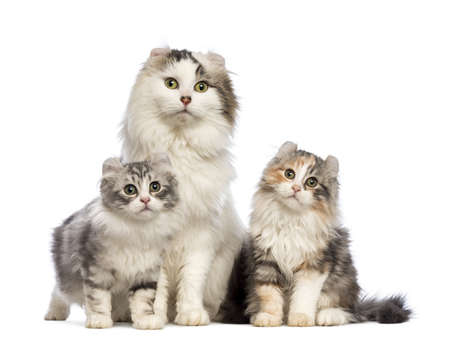 american curl: Two American Curl kittens, 3 months old, sitting with their mum in front of white background Stock Photo