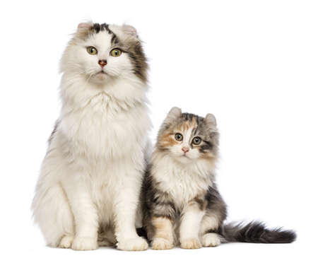 american curl: American Curl kitten, 3 months old, sitting with its mum in front of white background