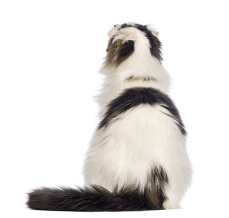 american curl: Rear view of an American Curl sitting and looking up in front of white background