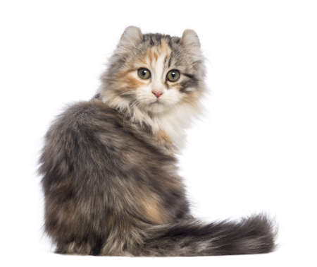 american curl: Rear view of an American Curl kitten, 3 months old, sitting and looking at the camera in front of white background