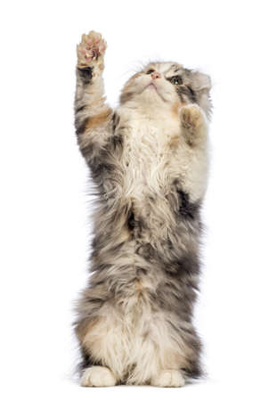American Curl kitten, 3 months old, standing on hind leg and reaching in front of white background photo
