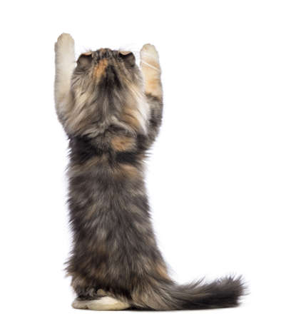 upright: Rear view of an American Curl kitten, 3 months old, standing on hind legs and reaching in front of white background
