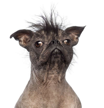 hairless: Close-up of a Hairless Mixed-breed dog, mix between a French bulldog and a Chinese crested dog, in front of white background