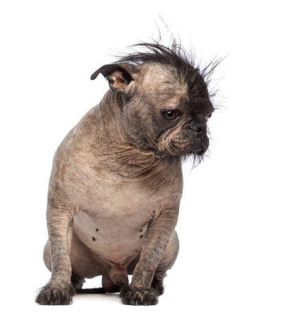 Hairless Mixed-breed dog, mix between a French bulldog and a Chinese crested dog, sitting and looking down in front of white background photo