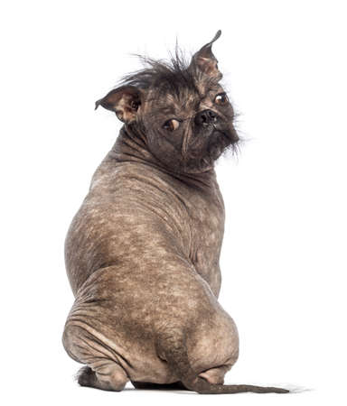 Rear view of a Hairless Mixed-breed dog sitting and looking at the camera in front of white background