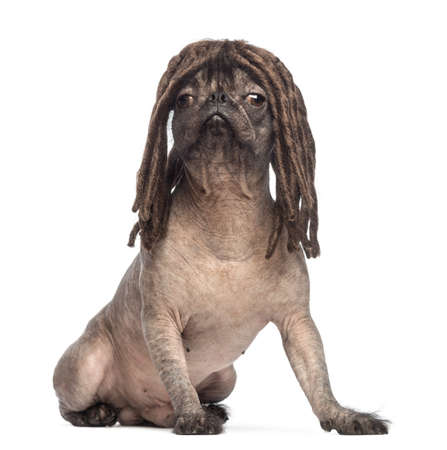 Hairless Mixed-breed dog of a French bulldog and a Chinese crested dog, sitting and wearing a dreadlocks wig in front of white background photo