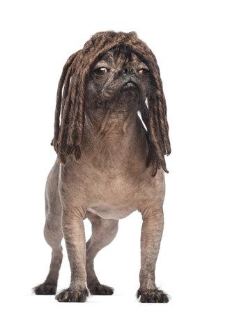 dreadlocks: Sin pelo perro de raza mixta mirando a otro lado y con una peluca dreadlocks en frente de fondo blanco Foto de archivo