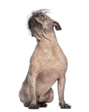 Hairless Mixed-breed dog in front of white background photo