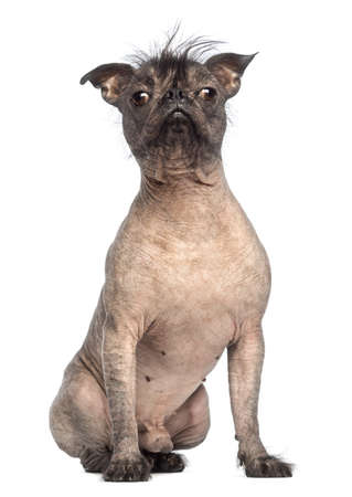 Hairless Mixed-breed dog of a French bulldog and a Chinese crested dog, sitting and looking at the camera in front of white background photo