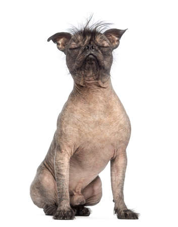 Hairless Mixed-breed dog of a French bulldog and a Chinese crested dog, with eyes closed and sitting in front of white background photo