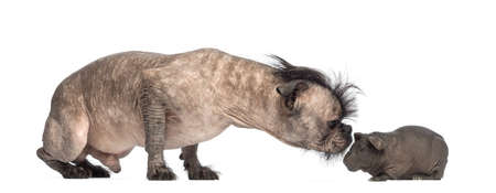 Hairless Mixed-breed dog sniffing a hairless guinea pig in front of white background